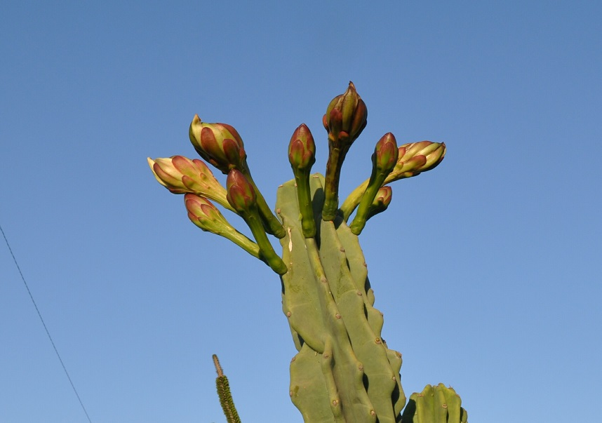 how to grow san pedro cactus from seed